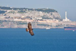 Raptor in flight over Gibraltar